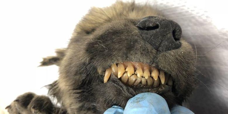 Ilmuwan memperlihatkan gigi Dogor, anak anjing berusia 18.000 tahun yang terawetkan dengan baik.