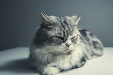 Penyebab Alergi Kucing dan Cara Mengurangi Bulu Kucing di Rumah