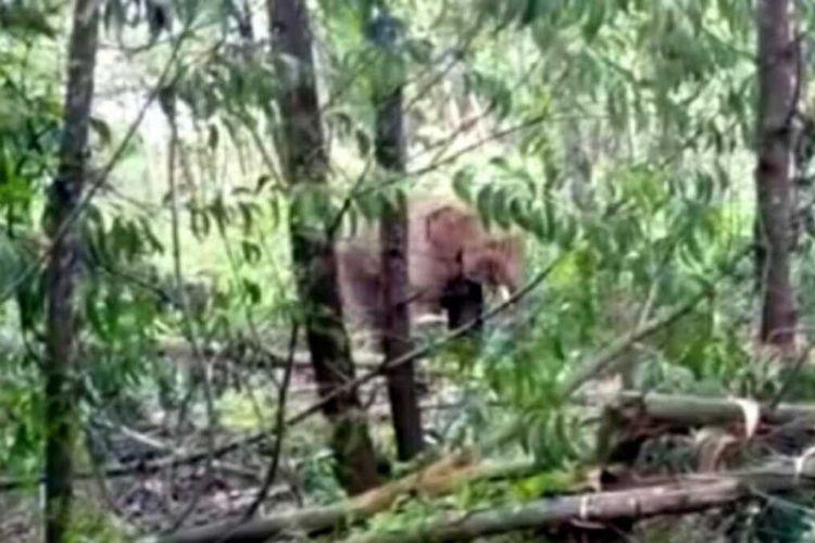 Ilustrasi seekor gajah liar sedang mencari makanan.