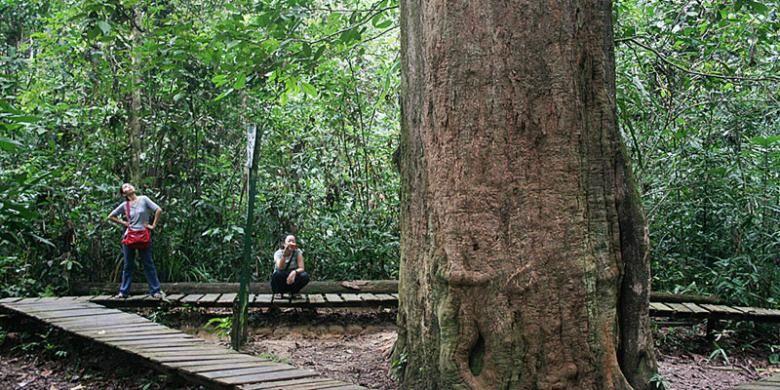 Pohon ulin setinggi 20 meter dan berdiameter 2,47 meter ini merupakan ulin terbesar di Indonesia, juga dunia. Pohon yang diperkirakan berumur 1.000 tahun ini menjadi ikon Wisata Alam Sangkima, bagian terluar dari Taman Nasional Kutai, hutan hujan tropis dataran rendah di Kabupaten Kutai Timur, Kalimantan Timur.