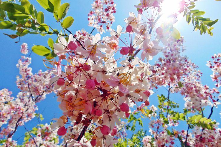 Ilustrasi Bunga Sakura Sumba di Sumba Timur, Nusa Tenggara Timur.