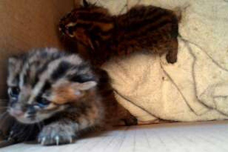 Dibungkus Kardus Seekor Kucing Hutan Mati Lemas