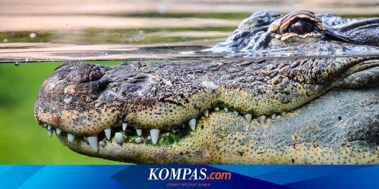 Dinosaurus Punah, Hanya Buaya yang Bertahan, Apa Rahasianya?