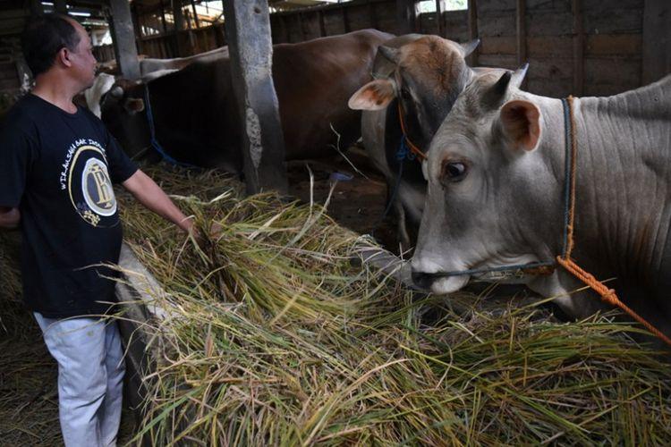 Suasana salah satu kandang sapi milik Kelompok Tani Ternak Bangunrejo, Desa Polosiri, Kecamatan Bawen, Kabupaten Semarang, Kamis (3/8/2017).