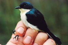 Peneliti Temukan Jenis Burung Berrypecker Baru dari Papua Barat