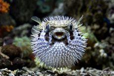 Fakta Ikan Buntal, 1.200 Kali Lebih Beracun Dibanding Sianida