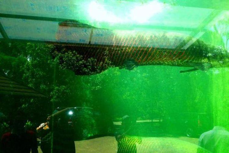 Ikan arapaima dengan ukuran jumbo di Agrowisata Sidomuncul,   Bergas, Ungaran, Kabupaten Semarang.