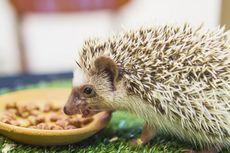 Jenis Makanan hingga Waktu Makan yang Tepat untuk Landak Mini