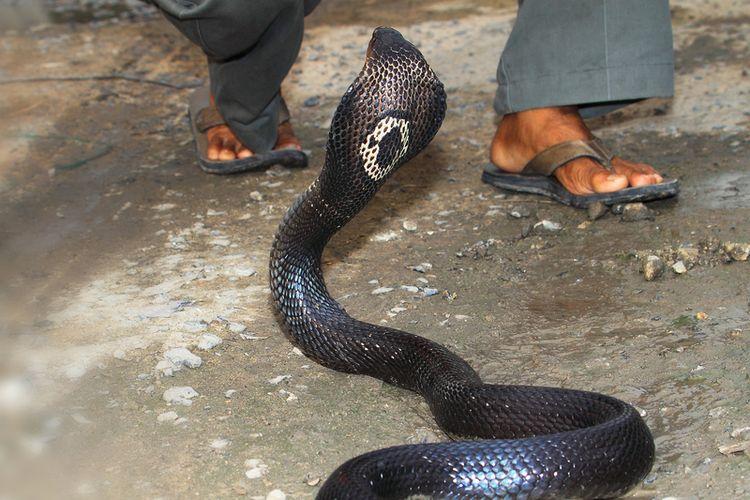 Ilustrasi ular kobra