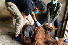 Dua Orangutan Kalimantan Diselamatkan dari Lembaga Konservasi Tak Berizin di Jateng