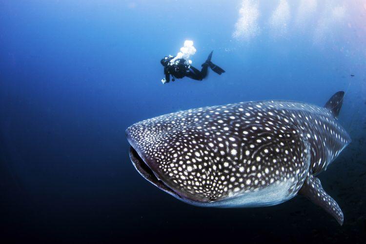 Ilustrasi hiu paus