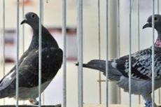 Dituduh Mata-mata, Seekor Burung Merpati Ditangkap di India