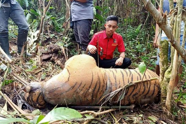 Seekor harimau mati terkena jerat di Bengkulu
