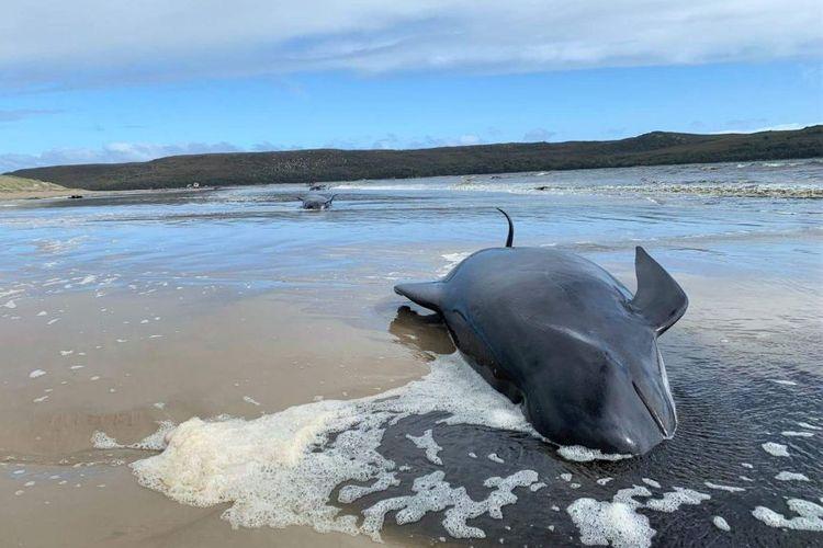 Salah satu paus pilot yang terdampar di lepas Pantai Barat Tasmania, mati. Ratusan paus pilot terdampar massal pada Senin (21/9/2020).