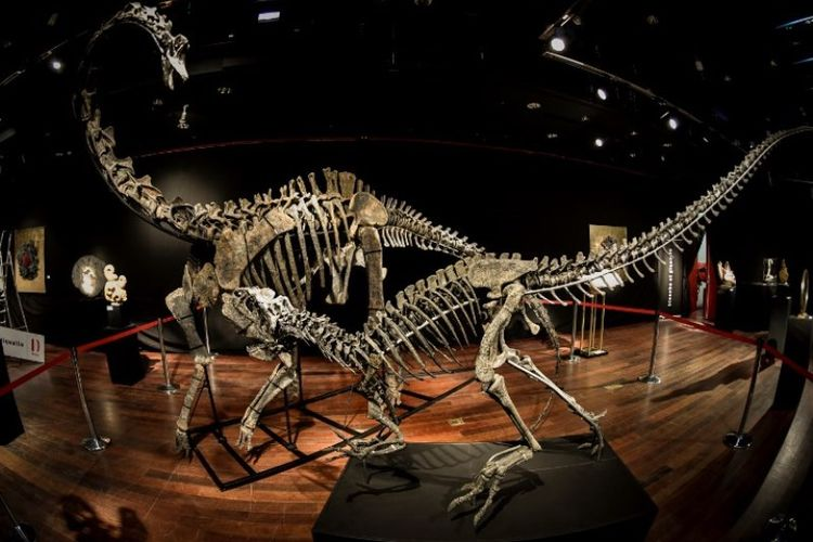 Kerangka dua dinosaurus yang diperkirakan berusia 161 hingga 145 juta tahun, Diplodocus (belakang) dan Allosaurus (depan) dipamerikan pada Jumat (6/4/2018), sebelum mulai dilelang pada Rabu (11/4/2018)di Balai lelang Drouot di Paris, Perancis. (AFP/Stephane De Sakutin)