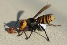Lebah dengan Sengatan