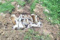 9 Monyet Liar Mati Diduga Diracuni, Kejang-kejang Saat Sekarat