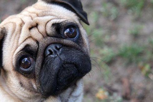 Ilmuwan Ungkap Mutasi di Balik Hidung Pesek Anjing Pug