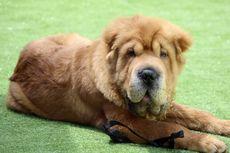 Tanda-tanda Anjing Semakin Tua dan Apa yang Harus Dilakukan