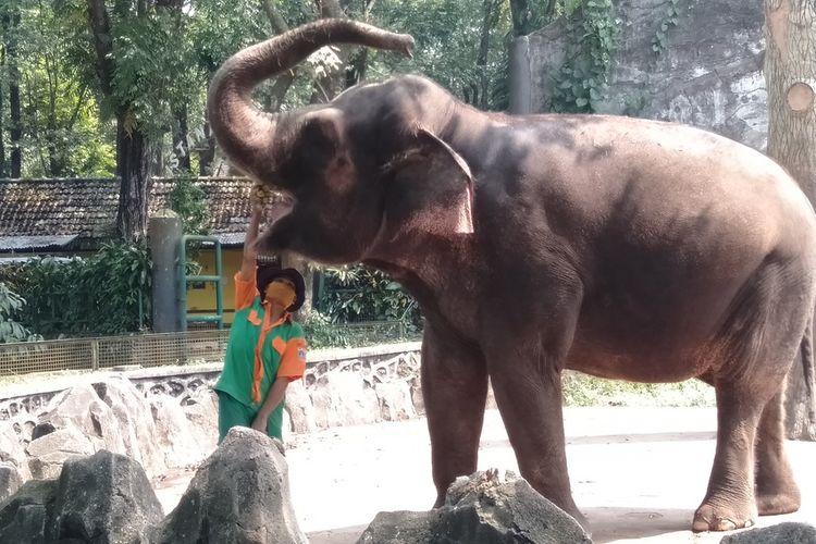 petugas sedang memberi makan satwa gajah saat simulasi pembukaan Taman Margasatwa Ragunan, Kamis (11/6/2020)