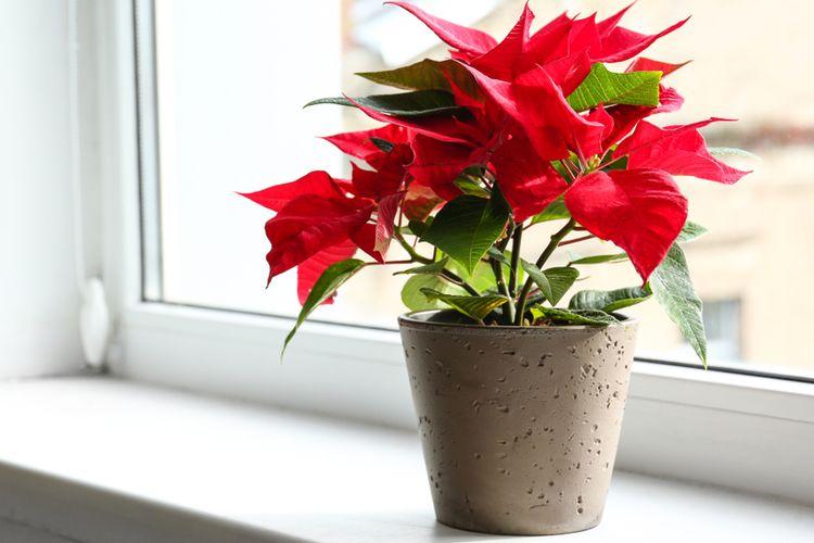 Ilustrasi tanaman hias poinsettia atau kastuba merah.