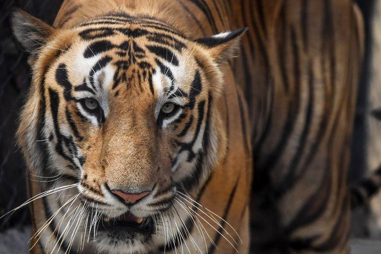 Seekor harimau ditempatkan di kandang saat dilakukan penyemprotan disinfektan oleh petugas kebun binatang Alipore Zoological Garden di Kolkata, India, 8 April 2020.