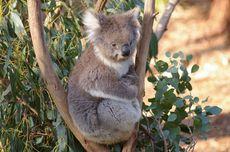 Kebakaran Australia Berakhir, Koala Mulai Dilepas Kembali ke Alam Liar