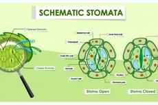 Stomata: Pengertian, Fungsi, dan Strukturnya