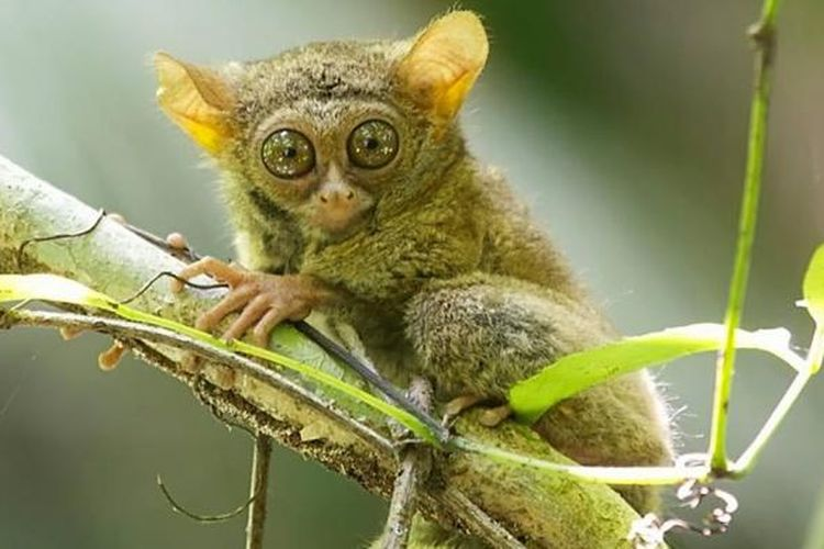 Tarsius tarsier, primata mungil banyak ditemukan di kawasan Taman Nasional Bogani Nani Wartabone. Primata ini aktif pada malam hari. Suaranya yang khas sering ditakuti masyarakat pada malam hari