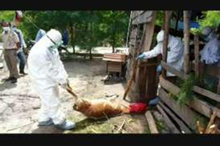 Penyakit anthrax merebak ke Polewali Mandar Sulawesi Barat. Sejak dua pekan terakhir, empat ternak mati mendadak dan dinyatakan positif terjangkit anthrax.