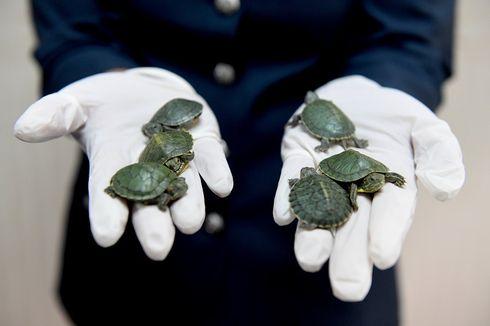 Malaysia Gagalkan Penyelundupan 5.000 Ekor Kura-kura