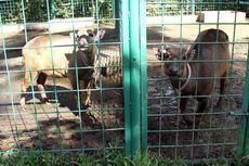 Tiga Anoa di BPK Manado Butuh Pejantan