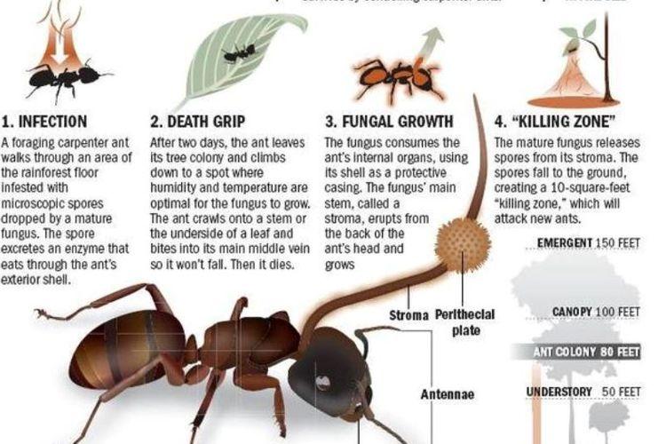 Cara kerja parasit bekerja membunuh serangga