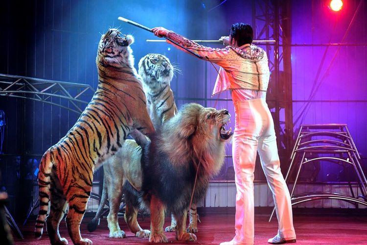 Pawang sedang mengendalikan singa dan harimau dalam pertunjukkan sirkus. Di Skotlandia, pertunjukkan sirkus keliling yang masih menampilkan hewan liar kini dilarang masuk dan menggelar pertunjukkan.