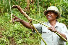Puluhan Kera Serang Ladang, 100 Hektar Tanaman Singkong Dirusak