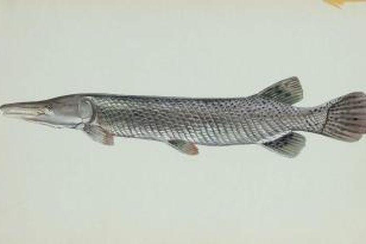 Ikan aligator (Atractosteus spatula)