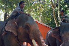 Musim Kemarau, Kawanan Gajah di TNBBS Turun ke Permukiman Warga
