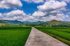 Sawah di Pronosutan View Kulon Progo Sudah Menguning, Segera ke Sana Sebelum Panen