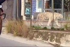 Warga Panik, Harimau Lepas dari Kandang dan Susuri Jalan Kota