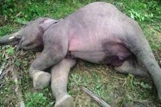BKSDA: Gajah Mati di Aceh Timur Diduga karena Diracun