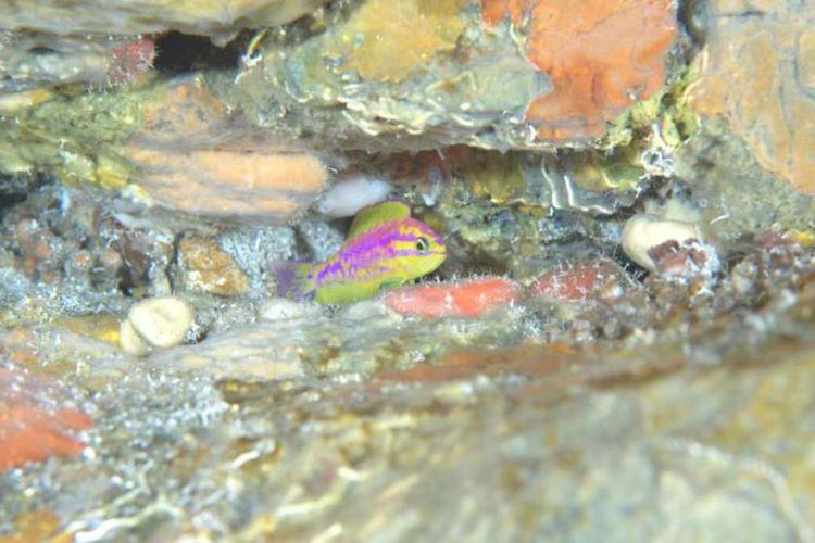 Sekitar 120 meter di bawah permukaan Samudra Atlantik, hidup Tosanoides aphrodite yang suka bersembunyi di terumbu karang. Ikan ini hanya hidup di perairan sekitar Saint Paul Archipelago, Brasil.