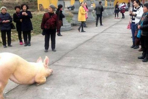 Kabur dari Peternakan, Babi Ini Bersujud di Sebuah Kuil Buddha di China