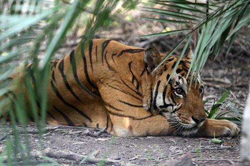Mirip Harimau Jawa Berhasil Dipotret Warga Pinggiran Hutan