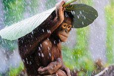 Ketika Orangutan Bersekolah...