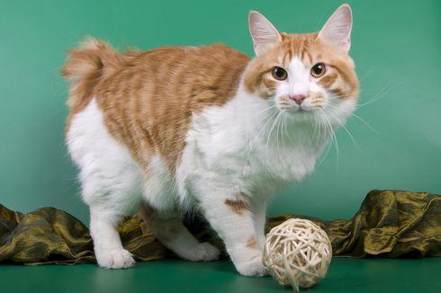 Mengenal Ras Kucing American Bobtail, Si Ekor Pendek yang Menggemaskan