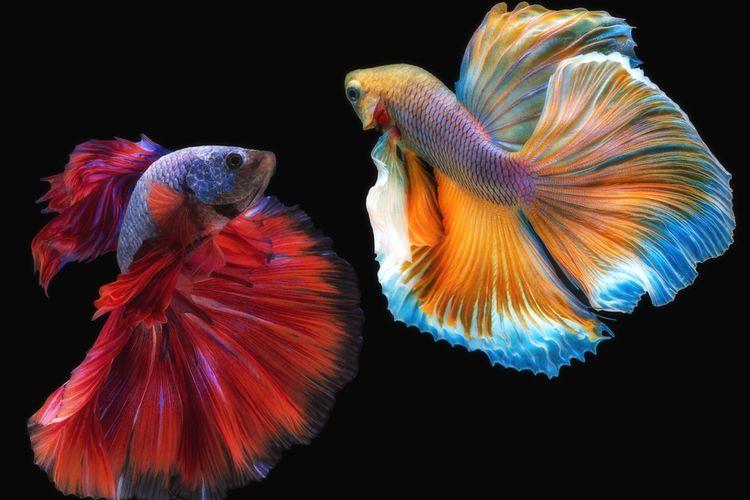 Ilustrasi ikan cupang bertengkar.