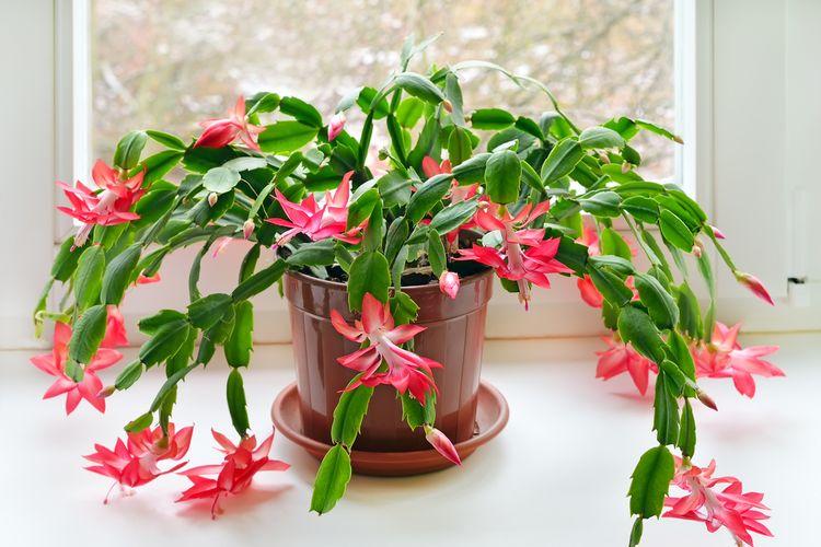 Ilustrasi tanaman christmas cactus atau kaktus natal.