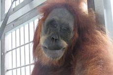 Induk Orangutan