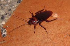 Banjir Jabodetabek Sebabkan Kecoa Berdatangan, Ini 7 Bahayanya