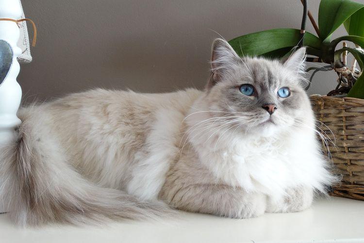 Ilustrasi kucing ras Ragdoll.